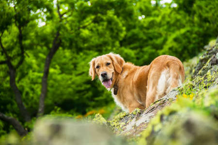 mid distance: Golden Retriever Dog on a Rocky Cliff With a Green Forest Background