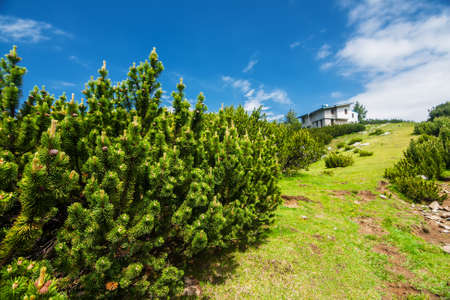 mugo: Dwarf pine next to mountain hut in summer