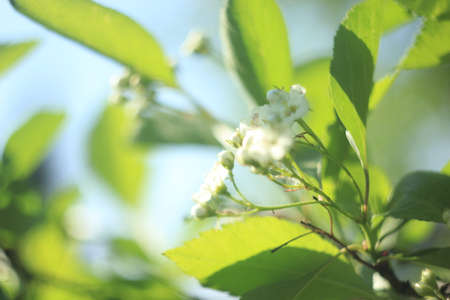 Blossoming of apple in spring time with green leaves, macro