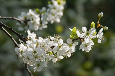 Blossoming branch of a blackthorn  Stock Photo - 9052246