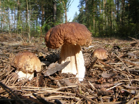 Three mushrooms in forest photo