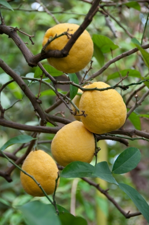 bitter fruit: Bergamot fruits on a branch Stock Photo