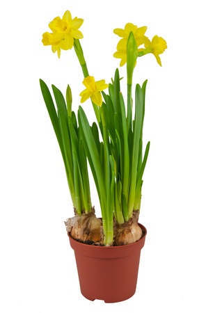 Yellow daffodils in a pot photo