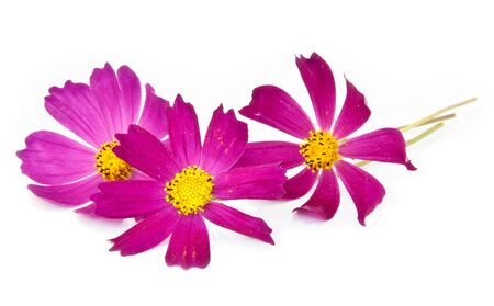 cosmos flowers: Pink cosmos flowers on a white background