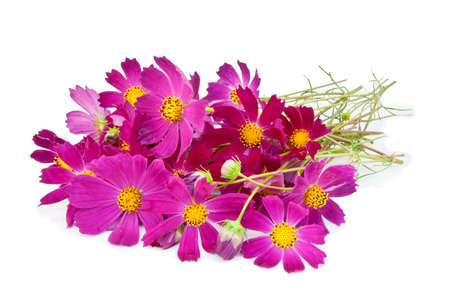 Pink cosmos flowers on a white background photo