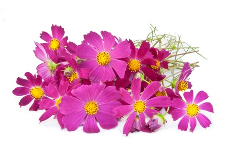 Pink cosmos flowers on a white background