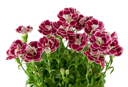 bicolor: two-colored carnations on a white background