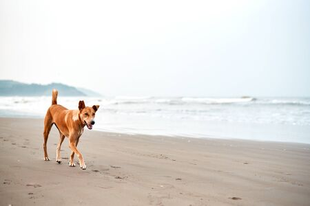 Dog walk the beach morning goa Фото со стока