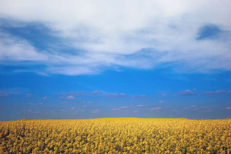 yellow colza field Stock Photo - 1551735