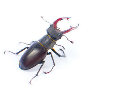 Deer beetle on white background Isolated