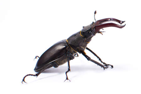 A beetle-deer male on a white background. Isolated