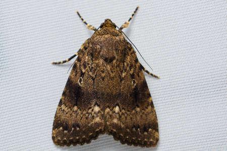 a large moth moth sits on tulle Reklamní fotografie - 86433461