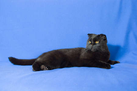 lop eared: portrait of a young black Scottish lop-eared cat.