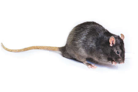 funny gray rat in small glasses