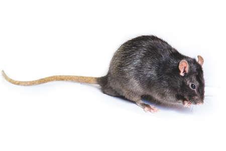 lustige graue Ratte in kleinen Gläsern