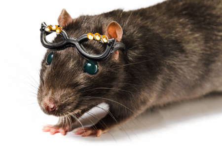 funny gray rat in small glasses