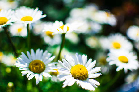 glade chamomile in the open air in summer.