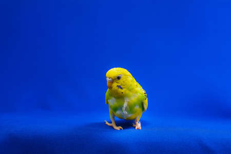 A beautiful yellow-green budgerigar sits on a blue background. a pet