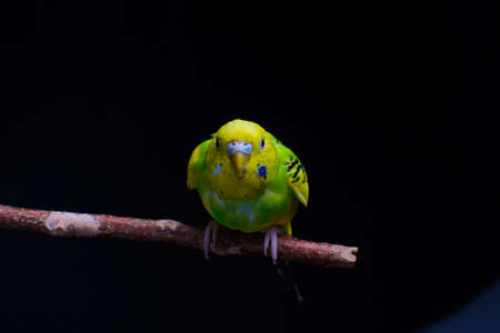Yellow and green budgie, budgie sits on a wooden stick. Black background