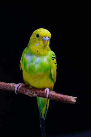 Yellow and green budgie, budgie sits on a wooden stick. Black background. low key