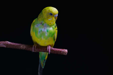 Yellow and green budgie, budgie sits on a wooden stick. Black background. low key 版權商用圖片