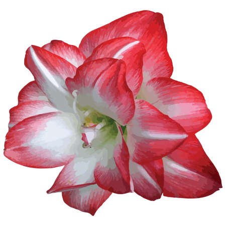 traced: Red and white blooming flower vector traced