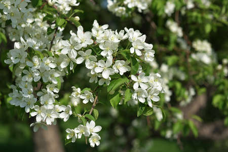 ecoration: The May blooming apple tree in the city park close-up Stock Photo