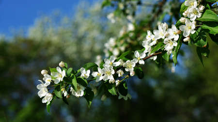 The May blooming apple tree in the city park close-up Stock Photo