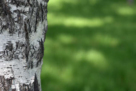white birch tree: White birch tree trunk and greens in the May grove close-up Stock Photo