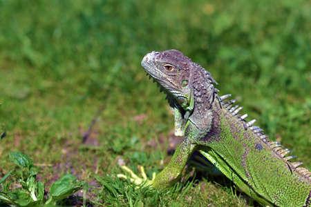 Green iguana - large herbivorous lizard close-up Stock Photo