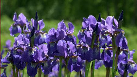 purple irises: Flowering purple irises close-up