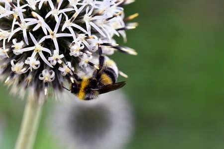 gathers: Bumblebee gathers summer harvest