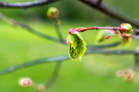 A branch of linden with spring leaves blooming out of the buds