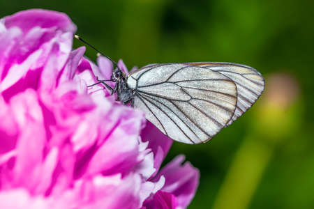 Butterfly with white wings sitting on a peony - macro
