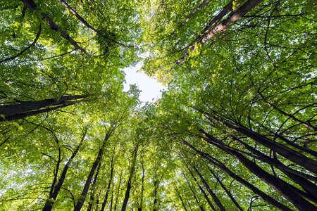 Des troncs de tilleul aux branches couvertes de feuilles vertes convergent au centre du cadre