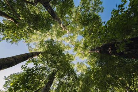 Trunks of poplars with green foliage reach for the sky in the center of the frame