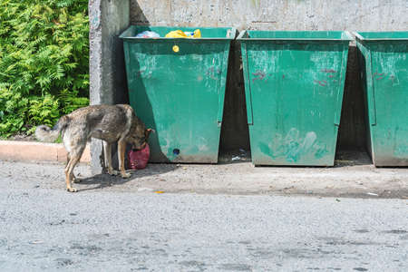 Yard dog eats from a bag near garbage containers in summer day