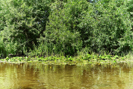 The shore of a small river overgrown with bushes and blooming yellow water lilies 版權商用圖片