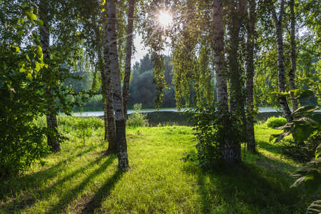 Sunlit forest lake shore with lawn and birch grove in summer day