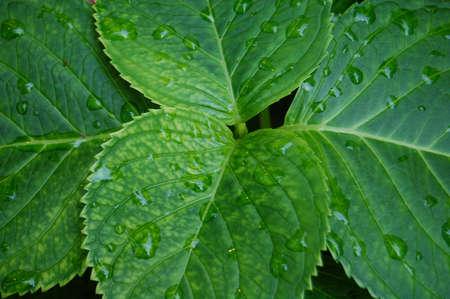 Hydrangea leaves2