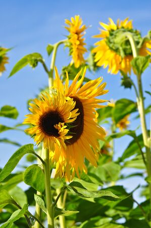 Beautiful. bright sunflowers on sunny day. Stock Photo