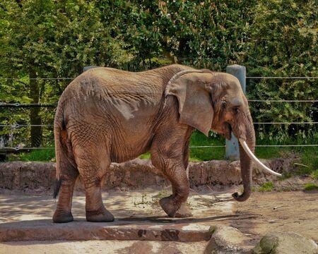 Bull elephant with one tusk