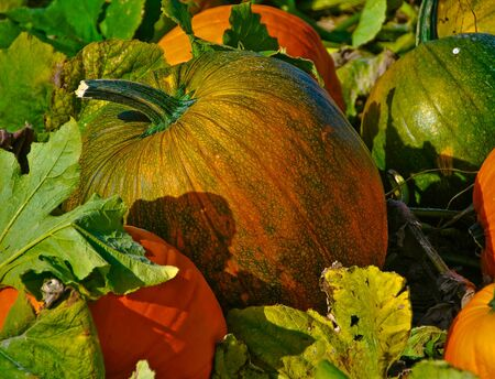 growimg pumpkins in pumpkin patch