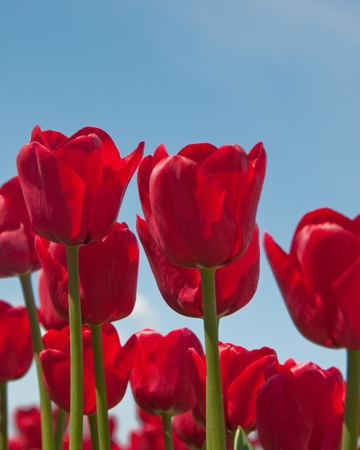 Closeup of beautiful red tulips, with sky in background for copyspace