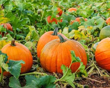 Pumpkins growing in farm field