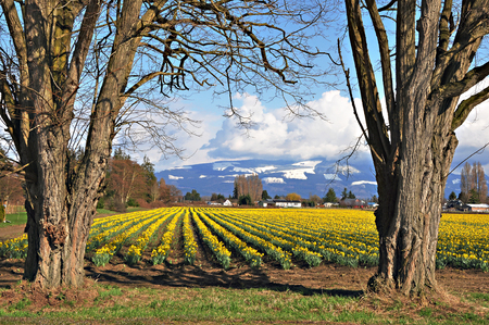 Daffodil field in the Skagit Valley Stock Photo