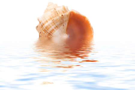 shell in a see on a white background photo