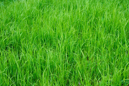 green summer grass photo