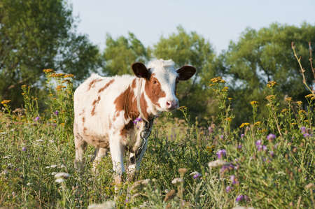 Young bull among a grass photo
