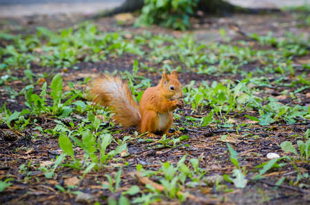 defenceless: sweet squirrel to hold nut at forest  animal wildlife Stock Photo